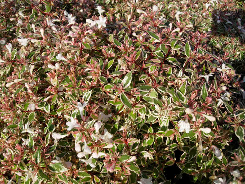 Pépinières Genetay Abelia Confetti Conti C 3 L Arbuste Semi