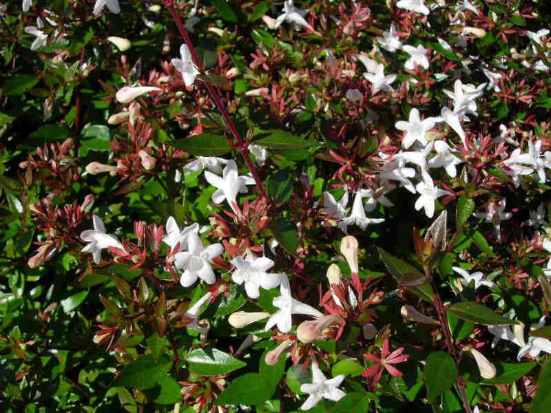 p pini res genetay abelia 39 prostata 39 c 3 l arbuste semi persistant fleurs blanches tout l. Black Bedroom Furniture Sets. Home Design Ideas